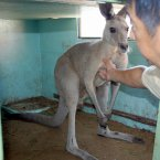 A male kangaroo is recaptured and brought back to a zoo in Moriyama, Shiga Prefecture in 2010 after escaping the previous day. The male kangaroo made his getaway soon after arriving from another zoo in Tochigi Prefecture and was found five hours later in a rice field some 500 metres away. (Kyodo)