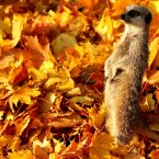 A meerkat playing in the foliage at Blair Drummond Safari Park near Stirling, where staff have added fallen leaves to the meerkat enclosure. (PA)