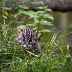 "Lee Donohoe, head keeper at Tayto Park said today ""The Fishing Cat is typically twice the size of the average domestic cat, the new cub has settled well into her surroundings and is full of energy. She sees every part of her compound as a mini adventure!"""
