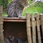 The Fishing Cat is double the size of a domestic cat.