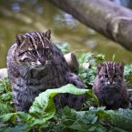 The Fishing Cat is an endangered specie native to Thailand, Cambodia and India.