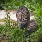 The newest addition to Tayto Park, a female Fishing Cat cub, explores her surroundings. All photos: Simon McDermott/Photocall Ireland