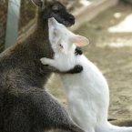An albino kangaroo named Milka clings to his mother at a zoo in Tashkent, the capital of Uzbekistan. (AP Photo)