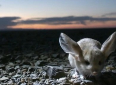 There's a long-eared jerboa