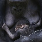 Gorilla Kijivu holds her newborn baby at the Zoo in Prague, Czech Republic today. Kijivu gave birth to her fourth child on December 22. (AP Photo/Petr David Josek)