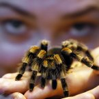 Kepper Amy Callaghan takes a close look at Jill the Red Kneed Spider. (AP Photo/Kirsty Wigglesworth)