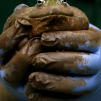 A muddy Bullfrog. (AP Photo/Kirsty Wigglesworth)