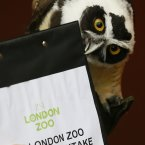 A Spectacled Owl nips a clipboard. (AP Photo/Kirsty Wigglesworth)