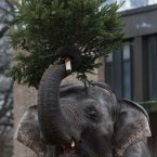 An elephant eats a christmas tree at the zoo in Berlin. (AP Photo/Markus Schreiber)