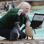 London Zoo keeper Zuzana Matyasova conducts their annual stocktake of animals in the penguin enclosure today.