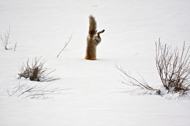 Red Fox catching mouse under snow - 2012-11-29_192629_nature.jpg