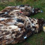 Two of the dead White-tailed Eagles.