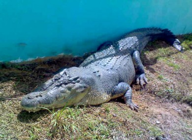 A file photo of Lolong, the world's largest saltwater crocodile, who died in captivity last weekend.