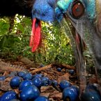 The endangered Southern Cassowary feeds on the fruit of the Blue Quandang tree on Black Mountain Road, Australia. (Image: Christian Ziegler) 