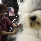 Caroll Geiser grooms Eva, a 3-year-old Old English Sheep dog (AP Photo/Mary Altaffer)