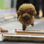 A dog runs at the obstacle race at Shanghai Pet Fair.  (AP Photo/Eugene Hoshiko)