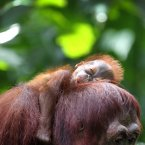 One month-old endangered Bornean Orang Utan sleeps on his mother named Miri on Wednesday, March 6, 2013, in Singapore. The Singapore Zoo is renowned for its flagship animal, the Orang Utan, and exhibits both the endangered Bornean and critically endangered Sumatran sub-species in a social setting. It is also known for its efforts in promoting and educating the public about the importance of wildlife conservation through its educational programs and breeding of these endangered species. (AP Photo/Wong Maye-E)