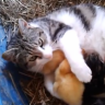 Orphaned ducks drink milk from a cat in Co. Offaly