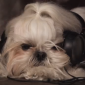 This video about a dog concert may seem like a parody, but it's all real